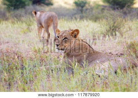 Young Lions In Kgalagadi Transfrontier Park