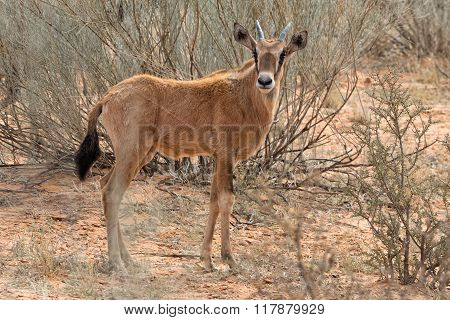Young Oryx At Kgalagadi Park