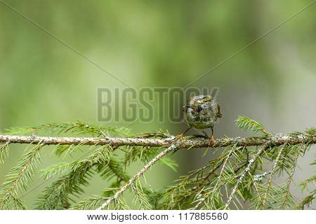 Small Goldcrest At Fir Branch