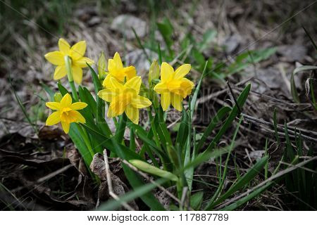 wildflower easter daffodils among withered grass
