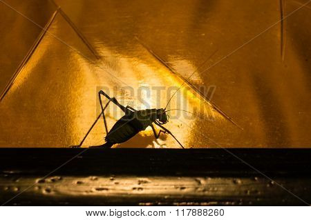 Grasshopper On The Move
