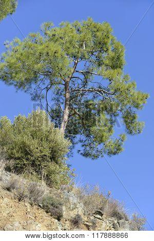 Calabrian Or Turkish Pine Tree