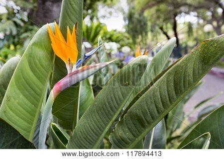 Strelitzia Reginae, A Bird Of Paradise