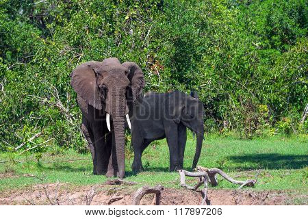 Pair Of African Elephants ( Loxodonta Africana )