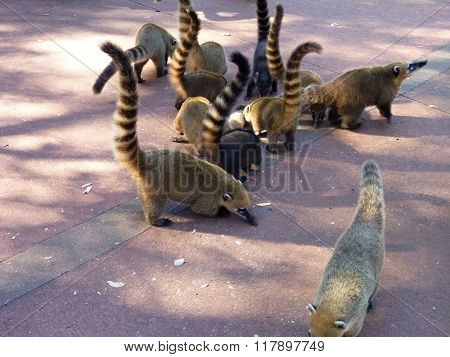 Coati In A Restaurant At Iguacu Falls