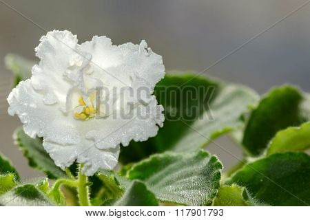 White Flower Violet