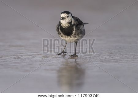 Pied Wagtail, Motacilla Alba Standing On Ice, Tweeting