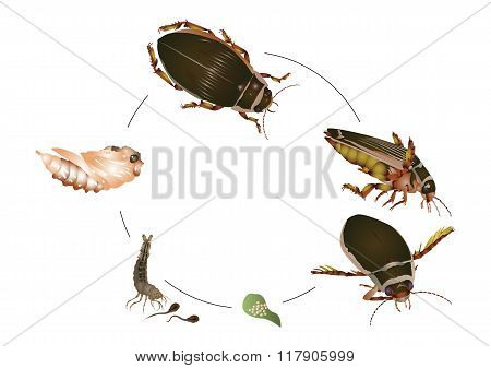 Life cycle of great diving beetle