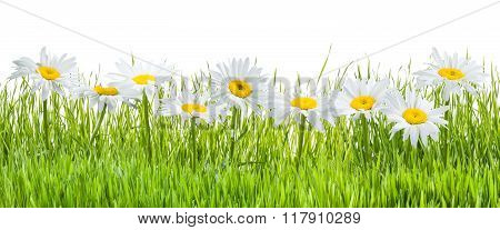 Chamomile Flowers And Grass Isolated