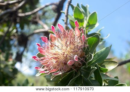 King Protea In South African