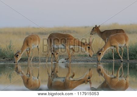 Wild Saiga Antelopes In Steppe Near Watering Pond