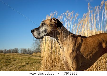 Stoic looking great Dane facing left with tall grass behind and blue sky