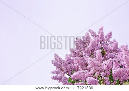 Closeup Of Pink Lilac Flowers -soft Focus Processing. Background With Free Space For Text.