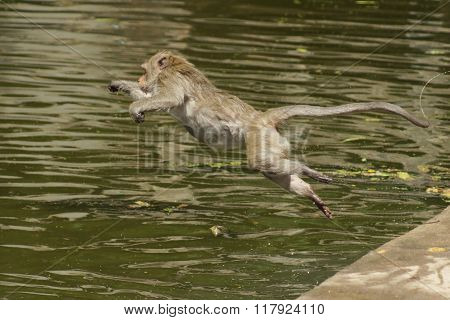Monkey jumping into water.