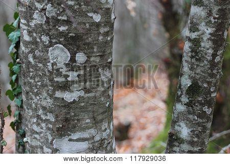Beech Bark In Winter Time