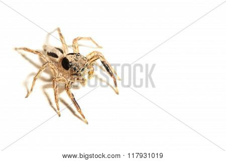 close up jumping spider on white background