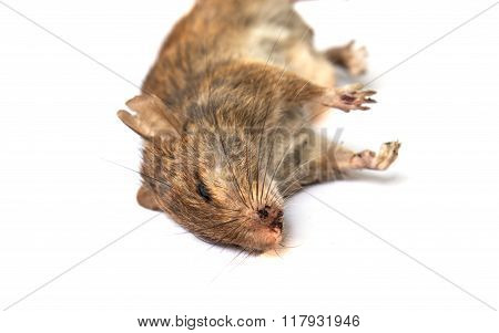 Dead Rat On White Background