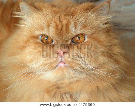 Amber Cat  Eyes