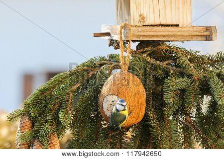 Cute Eurasian Blue Tit bird (Parus Caeruleus) perching on coconut Shell treats hanging at bird feeder