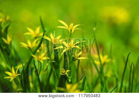 Flowers gagea lutea or yellow star-of-Bethlehem