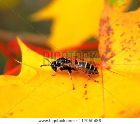 Paper wasp on a maple leaf