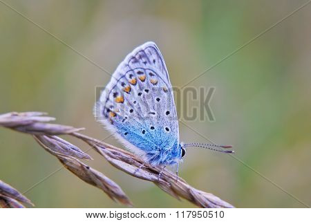 Butterfly Polyommatinae, the blues