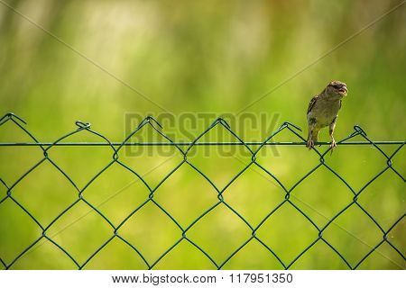 Sparrow Perched On Wire-net