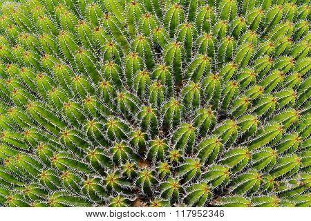 Euphorbia Echinus Plant In Cactus Garden, Guatiza, Lanzarote, Canary Islands, Spain