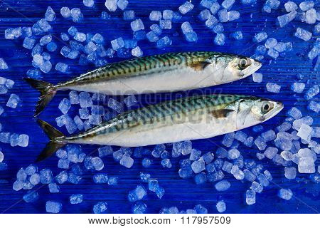 mackerel fresh fish on ice in a blue wooden background