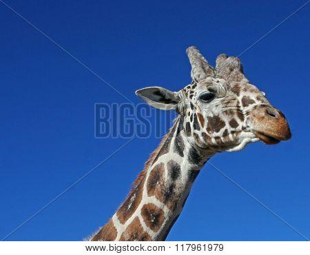 Profile of Giraffe Against Blue Sky