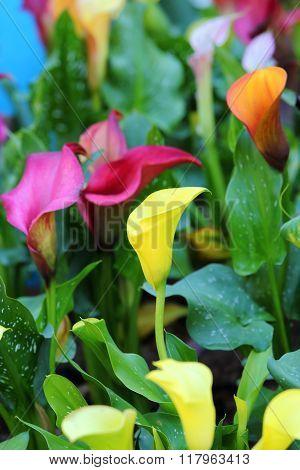 Calla Lily Flower Blossom