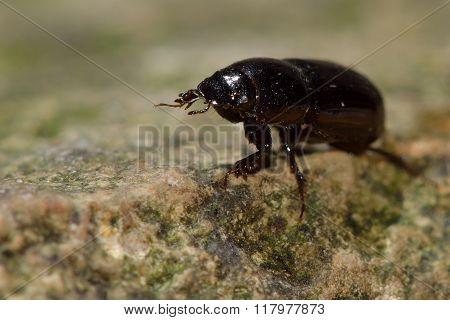 Aphodius granarius dung beetle