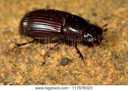 Aphodius rufipes dung beetle