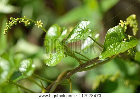 Black bryony (Tamus communis) in flower