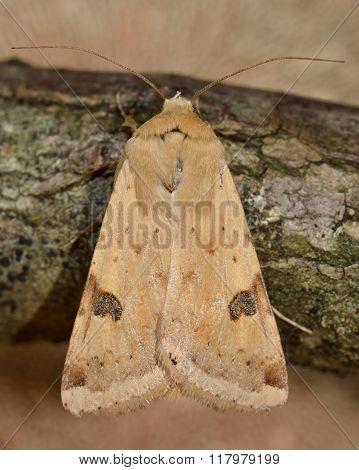 Bordered straw moth (Heliothis peltigera)