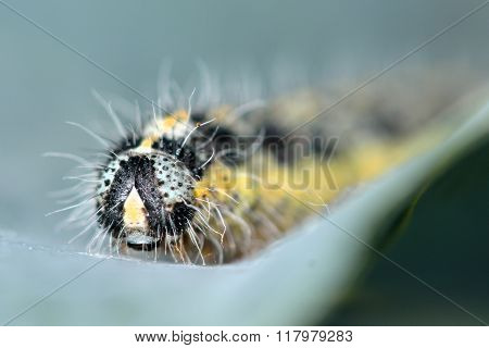 Large white butterfly (Pieris brassicae) caterpillar