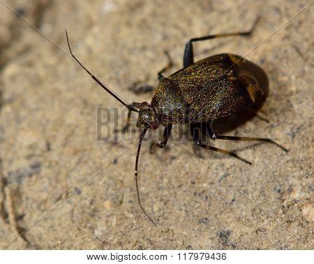 Polymerus nigrita Mirid bug