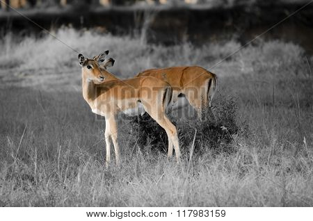 Thomson's, gazelle in Masai Mara National Reserve, Kenya