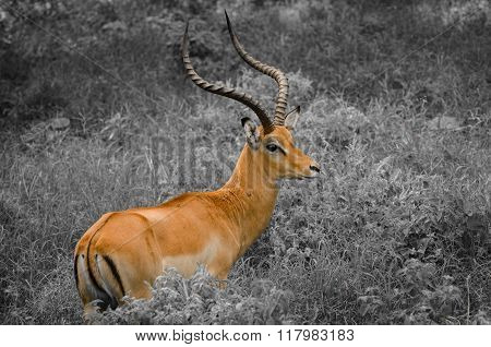 Thomson's gazelle in Masai Mara, Kenya