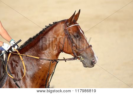Face Of A Purebred Racehorse With Beautiful Trappings Under Saddle During Training