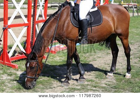 Thoroughbred Show Jumper Horse Graze During Training On Track Against Barriers