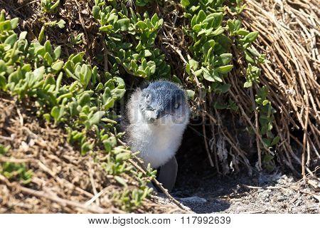 Juvenile Little Penguin Outside Its Burrow