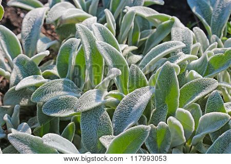 Indoor and greenhouse plants woolly Stachys