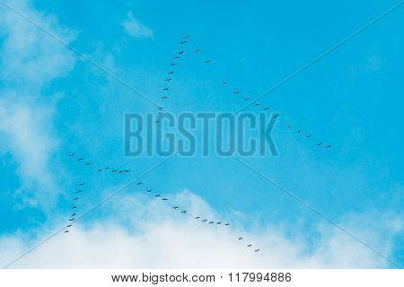 Flock Of Geese Flies In V-formation Flying In Blue Autumn or Spr
