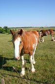 pic of clydesdale  - curious clydesdale looking at the camera in a meadow - JPG