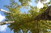 image of birchwood  - Green birch grove in summer - JPG