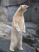 foto of polar bears  - this bear was looking for someone to bring the food - JPG