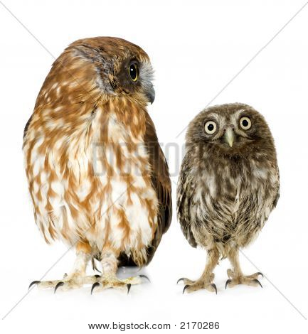 Female Owl And A Owlet