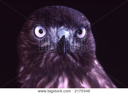 Melanistic Red Tailed Hawk