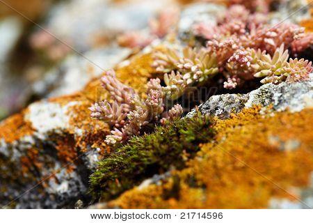 Jade Plant Flowers Growing On Rocks
